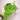 Pilea-microphylla
