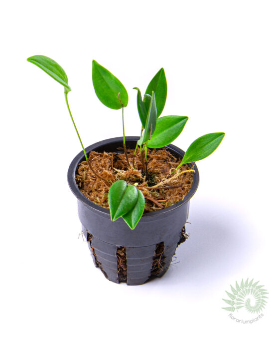Орхи́дные Orchidaceae