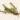 Podochilus microphyllus