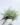 Tillandsia bandensis Pulk