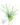 Tillandsia flabellata