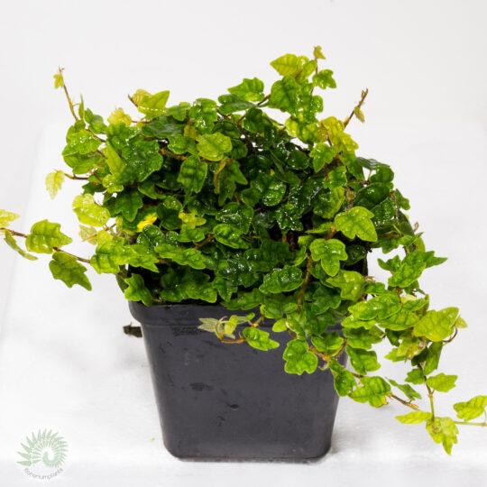 Другие растения Other plants