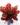 neoregelia Marmorata hybrid