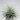 tillandsia ionantha white