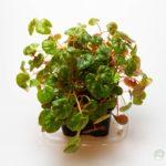 Begonia-peridot
