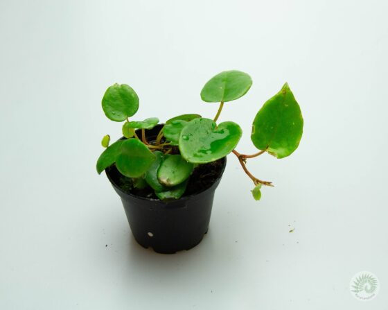 Begonia-elaeagnifolia-'Schulzei'