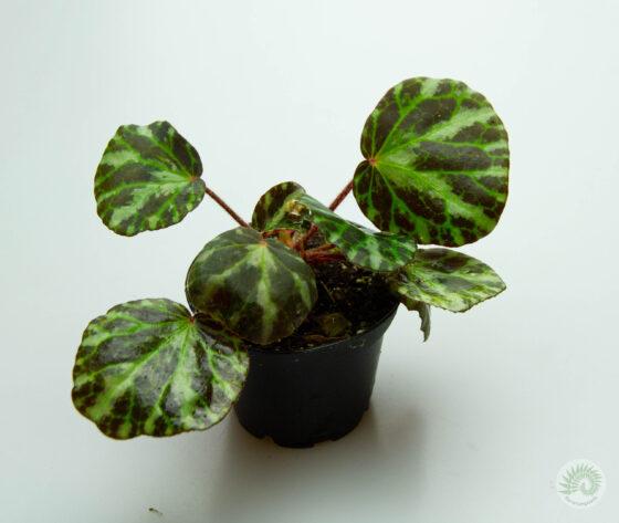 Begonia-gironellae