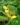Begonia-microsperma