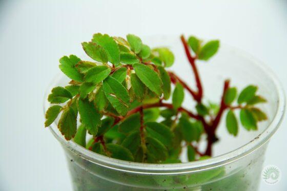 begonia-foliosa