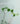 rhaphidofora-pachyphylla-01