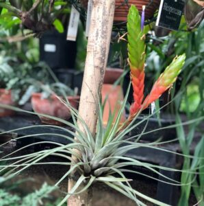 Тилландсии, что это такое?/florariumplants.com